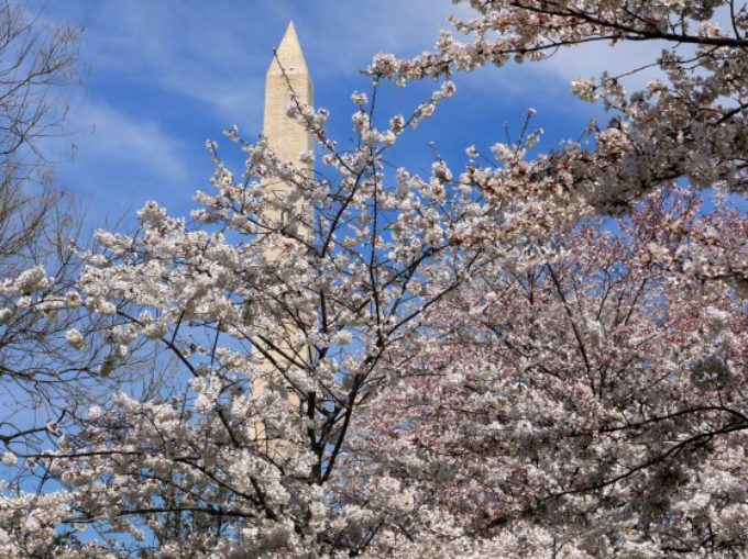 Stunning Display of Cherry Blossoms in DC