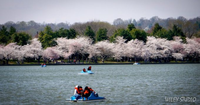Cherry Blossoms – a Springtime Celebration!